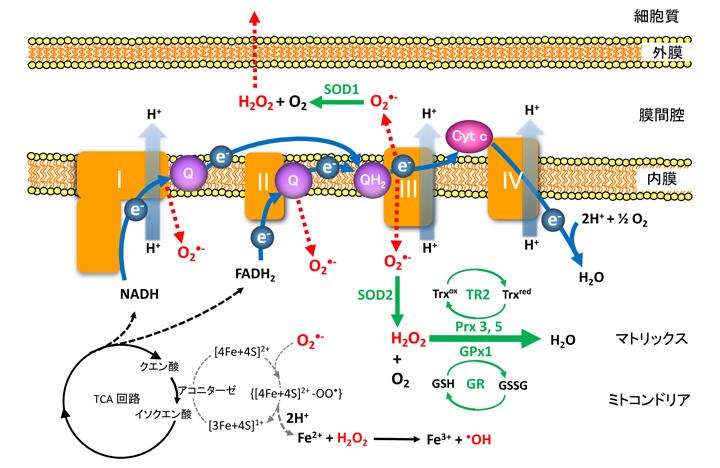 ミトコンドリア呼吸鎖(電子伝達系)複合体と活性酸素種 ...