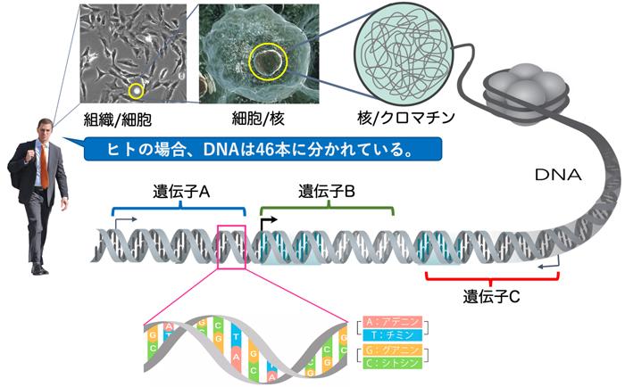 違い 染色体 dna